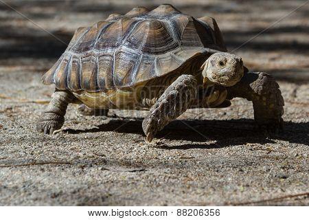 Spurred Tortoise - Geochelone Sulcata.