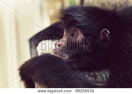 Lying black headed spider monkey close-up