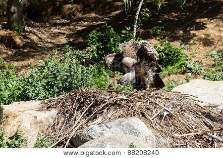 Vulture Nesting