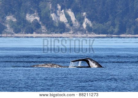 Gray Whales in the Puget Sound