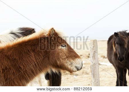 Portrait Of An Icelandic Pony With Blonde Mane