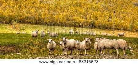 Green meadows with sheep in a beautiful area of Queenstown, New Zealand