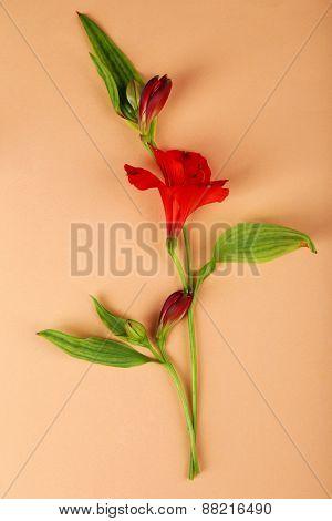 Beautiful alstroemeria on colour background