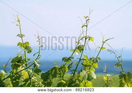 Green vine leaves with hills and sky in background