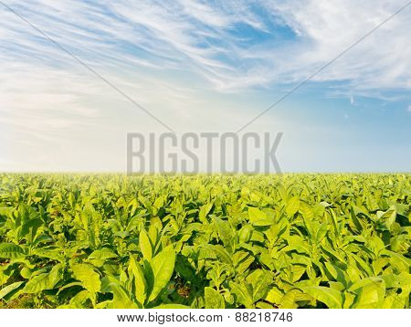 Tobacco field with partial fog in morning