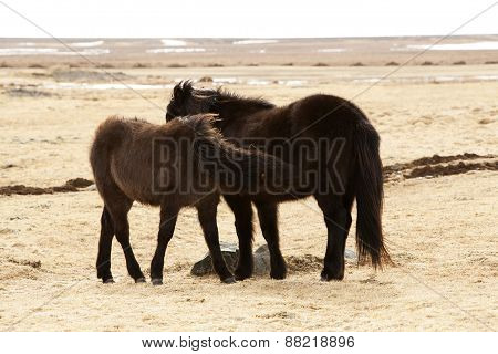 Young Icelandic Foal With Mother On A Meadow