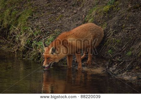 A fox at the Amsterdamse Waterleidingduinen