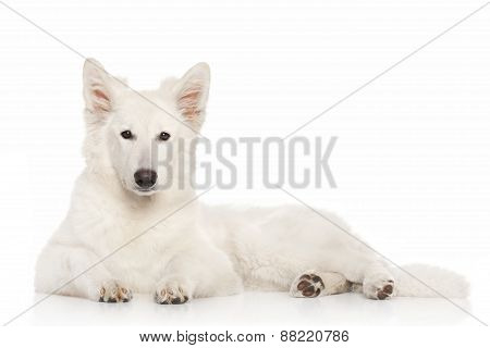 Swiss Shepherd Dog Lying Down