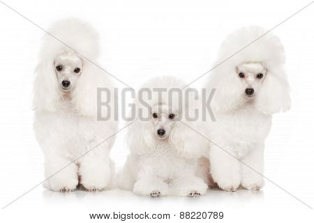 Group Of White Poodles
