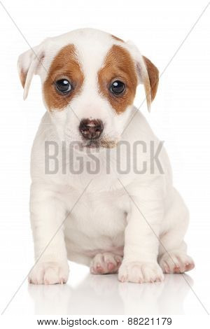 Jack Russell Terrier Pon White Background