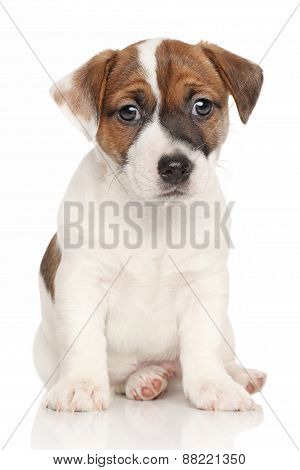 Jack Russell Puppy White Background