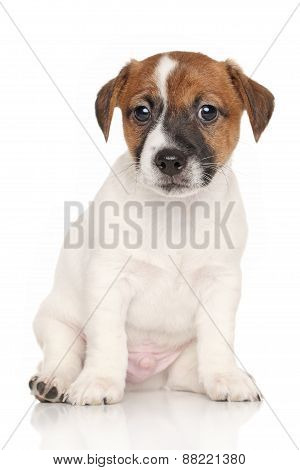 Jack Russell Puppy On White Background