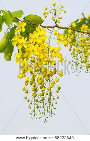 Flower Of Golden Shower Tree