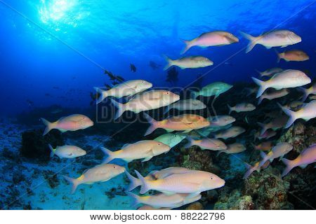 School yellow fish (goatfish) in blue ocean
