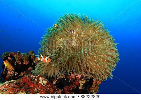 Anemones and Clownfish