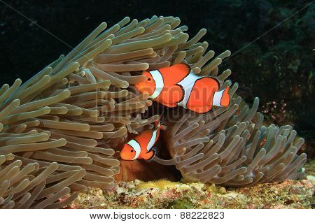 Nemo fish (Clown Anemonefish)