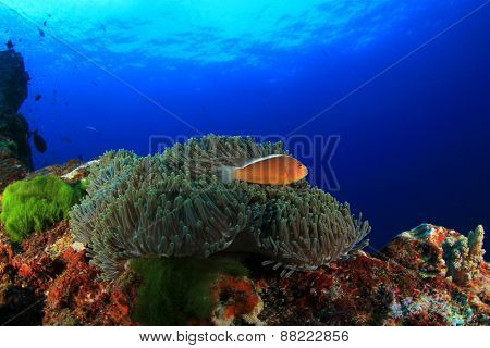 Coral, Anemone and fish (Skunk Anemonefish)
