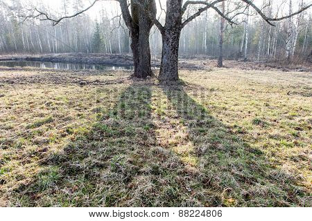 Spring Tree With Shadows