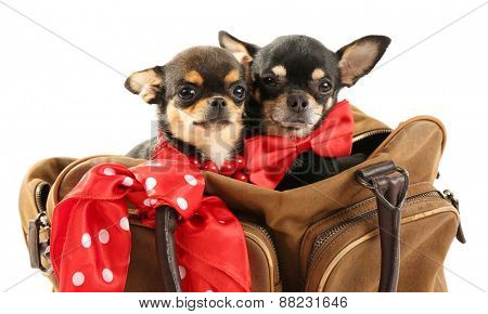 Cute chihuahua puppies in brown bag isolated on white