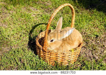 Cute brown rabbit in wicker basket on green grass background