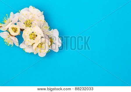 Apricot branch with blossom isolated on blue