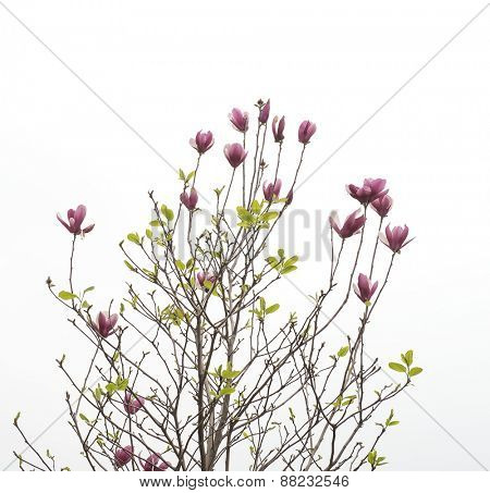 magnolia flowers isolated on white background