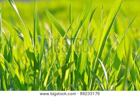 Green Grass  In The Sunlight On Green Background