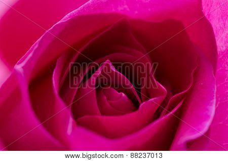 Isolated Single Pink Rose