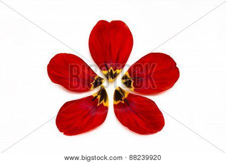 Individual Flower Petals Of A Tulip On A White Background.