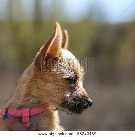 a cute chihuahua mix in the arms of a caring person during fall