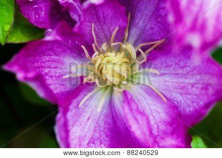 pink clematis in the garden