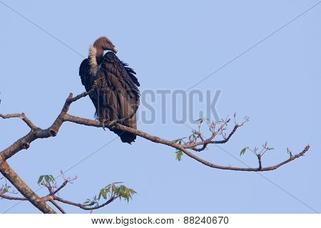 Gyps bengalensis, white rumped vulture on , Lumbini, Nepal