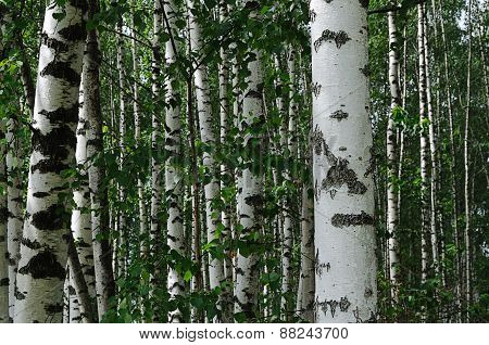 Birch Trees In Summer Forest