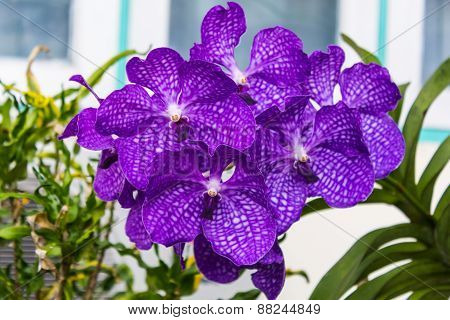 Vanda Orchid Flower Queen Of Orchids