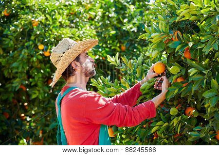 Farmer man harvesting oranges in an orange tree field