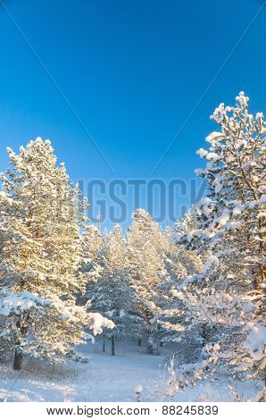 Snowy Fir Trees Icy Forest