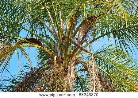 Closeup Of A Queen Palm Tree In The Sun