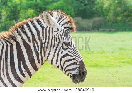 Head Shot Of Zeabra With Best Stripes On Its Face