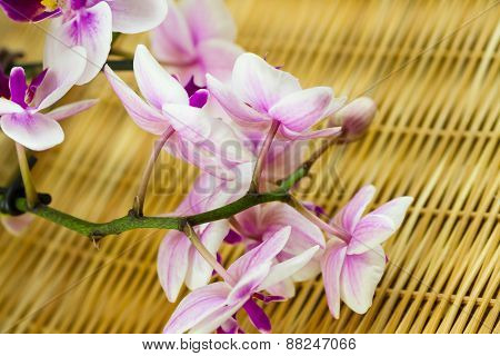 Mini Phalaenopsis Orchids