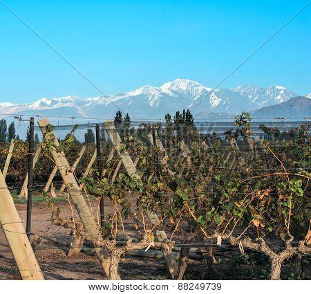 Vineyard In Maipu, Argentine Province Of Mendoza