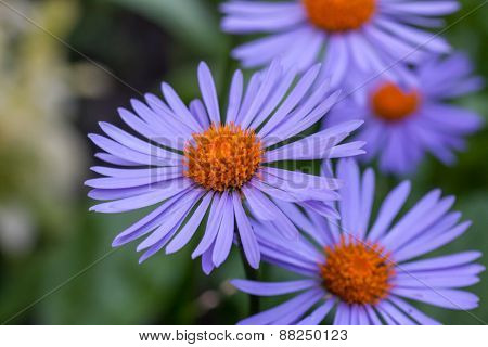 Purple asters flowerbed.