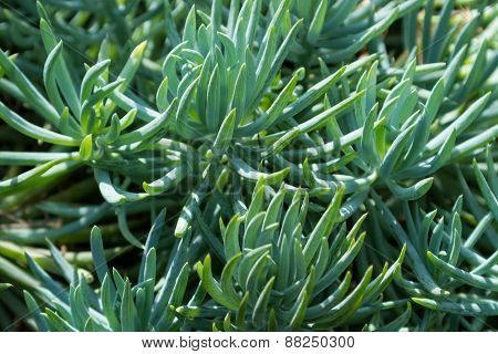 Succulent Plant with blue stick like foliage
