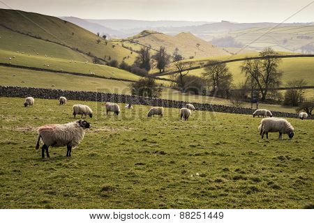 Sheep Animals In Farm Landscape On Sunny Day In Peak District Uk