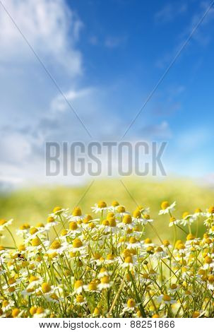 Camomile flowers in the field against the sky with clouds