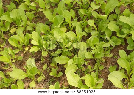 Lettuce In Vegetable Plot