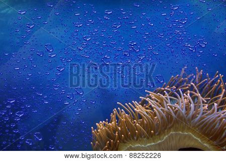Sea Anemone With Blue Water Amd Bubbles