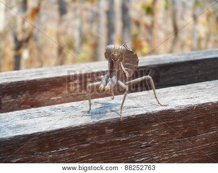 Grasshopper Stare