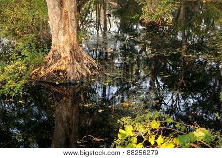 Big tree in the forest with dirty water