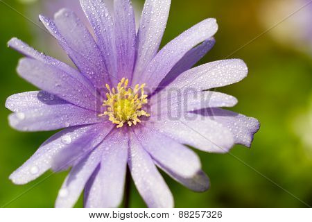 Macro Of A Violet Wood Anemone