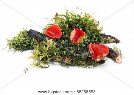 mushroom Scarlet Cup (Sarcoscypha coccinea)